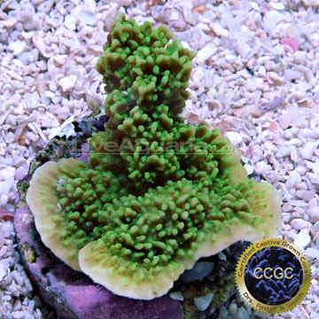 ... Corals for Marine Reef Aquariums: Green Apple Cap Coral - Aquacultured