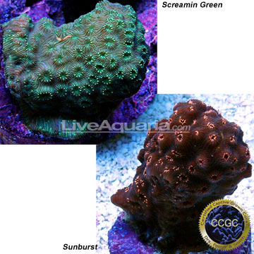 Home > Corals > Corals for Beginners > Pavona Coral, Aquacultured