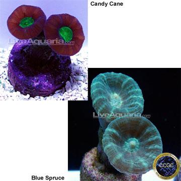 ... Corals for Marine Reef Aquariums: Caulastrea Coral - Aquacultured