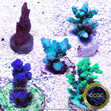 Drs. Foster & Smith Certified Limited Edition Five Frag Pack, Aquacultured