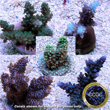 Drs. Foster & Smith Certified Limited Edition Five Frag Pack - Aquacultured