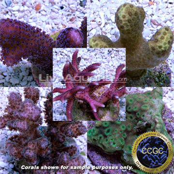 Drs. Foster & Smith Certified Beginner SPS Frag 4 Pack - Aquacultured