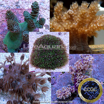 Drs. Foster & Smith Certified Soft Coral Frag 4 Pack - Aquacultured