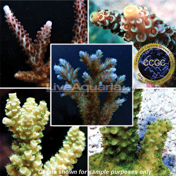 Drs. Foster & Smith Certified Acropora Frag 5 Pack,  Aquacultured