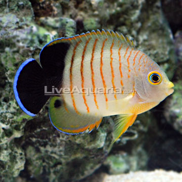 Red Stripe Angelfish