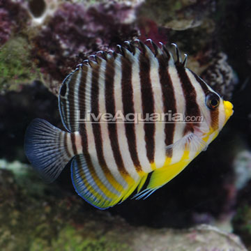 Multibar angelfish for Fish compatible with angelfish