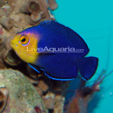 Cherub pygmy angel f s 20 obo manhattan reefs for Fish compatible with angelfish