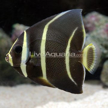 Gray (Black) Angelfish