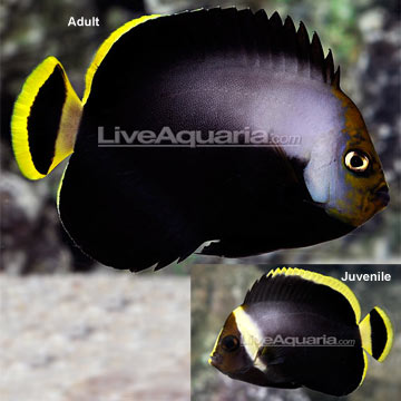 Black Velvet Angelfish