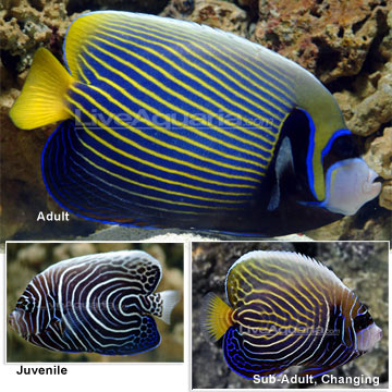 emperor angelfish changing - photo #17