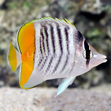 Saltwater aquarium fish for marine aquariums mertensii for Butterfly fish freshwater