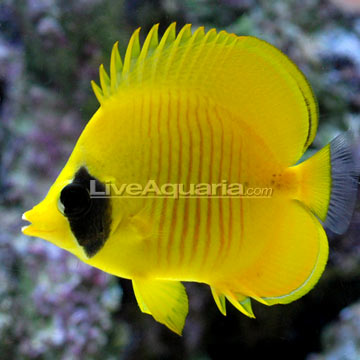 Saltwater aquarium fish for marine aquariums golden for Butterfly fish freshwater