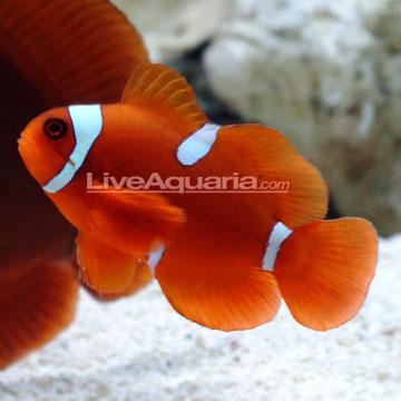 دلقک ماهی مارون ( maroon clown fish )