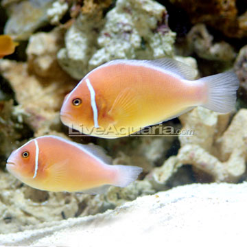دلقک ماهی اسکانک صورتی ( pink skunk clown fish )