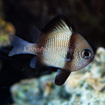 دامسل دو خط ( two stripe damsel fish )