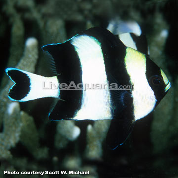 دامسل چهار خط ( four stripe damsel fish )