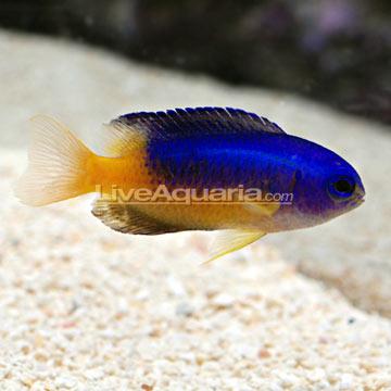 دامسل آبی طلایی ( blue & gold damsel fish )