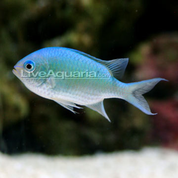 Green Saltwater Fish