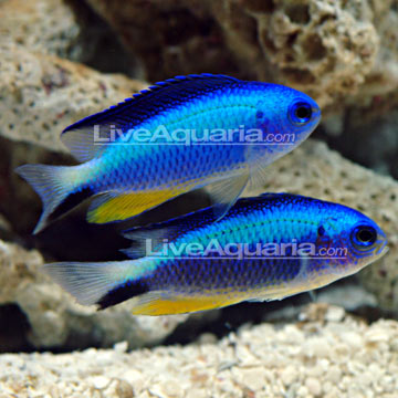Saltwater aquarium fish for marine aquariums neon damselfish for Neon aquarium
