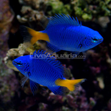 Saltwater aquarium fish for marine reef aquariums for Oily fish representative species