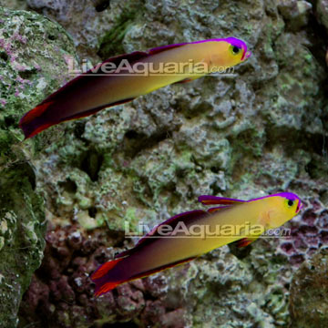 Firefish, Purple