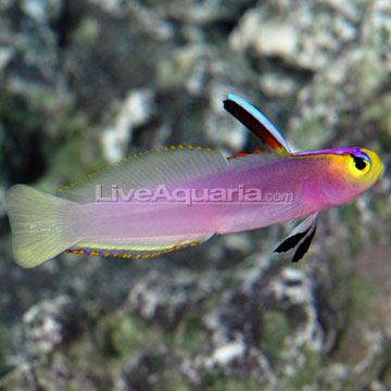 دارت ماهی هلفریچی ( helfrichi dartfish )
