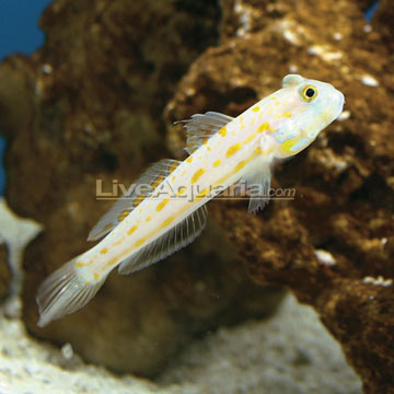 Diamond Watchman Goby
