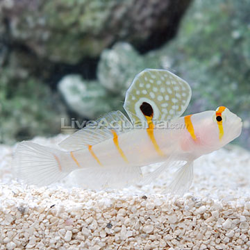 Orange Stripe Prawn Goby