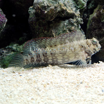 Sailfin/Algae Blenny