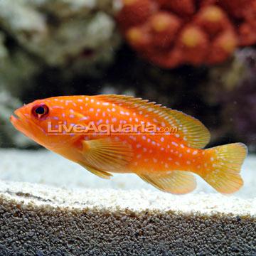 گروپر مینیاتوری ( miniatus grouper )