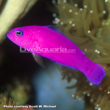 سودوکرومیس ارغوانی ( purple pseudochromis )