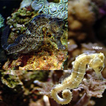 اسب دریایی زرد ( yellow reidi seahorse )