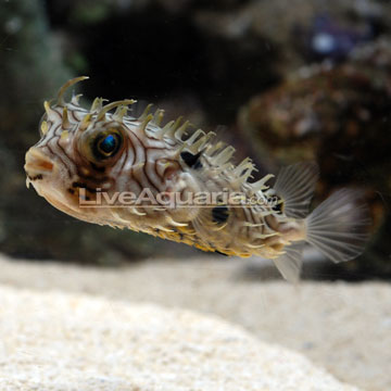 Saltwater aquarium fish for marine aquariums spiny box puffer for Puffer fish aquarium