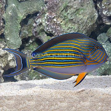 Saltwater aquarium fish for marine aquariums clown tang for Tang saltwater fish
