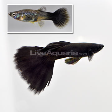 Moscow Black Velvet Guppy (Pair)