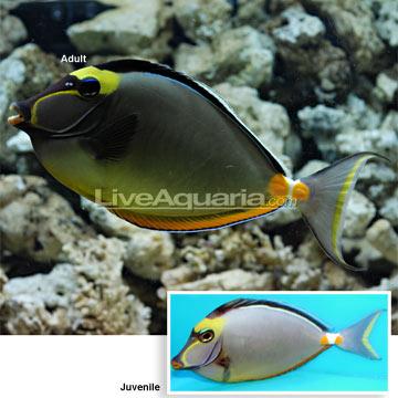 Saltwater aquarium fish for marine aquariums naso tang for Tang saltwater fish