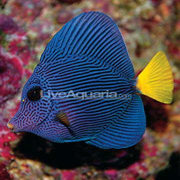 Saltwater aquarium fish for marine aquariums purple tang for Purple freshwater fish