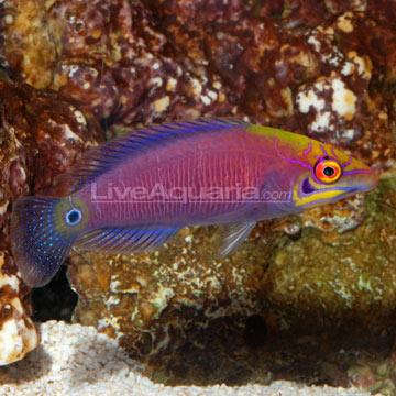 Saltwater Aquarium Fish For Marine Aquariums Mystery