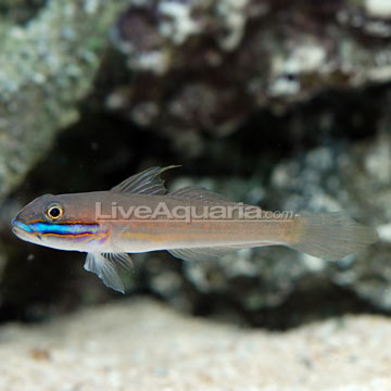 Sleeper Green Banded Goby