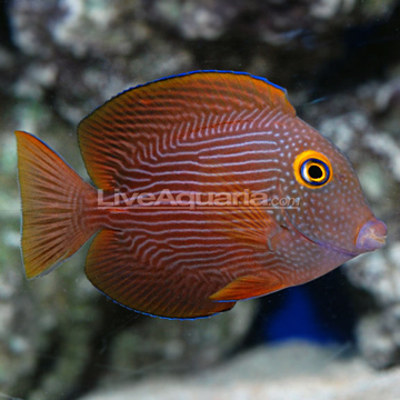 39 kole 39 tangs 3 colour variants page 1 marine fish for Tang saltwater fish