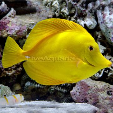 جراح زرد هاوایی ( hawaii yellow tang )