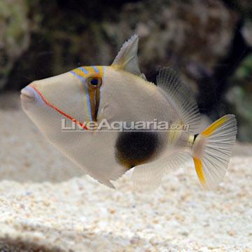 ماشه ماهی بورسا ( bursa triggerfish )