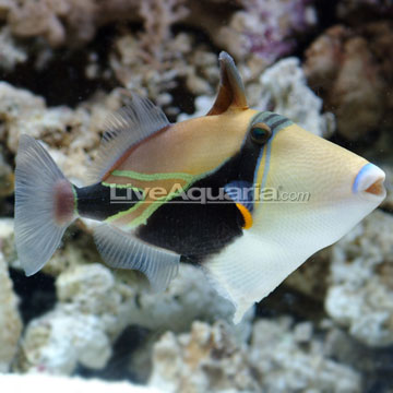 rectangle trigger fish