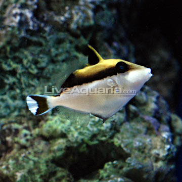 White Tip Triggerfish