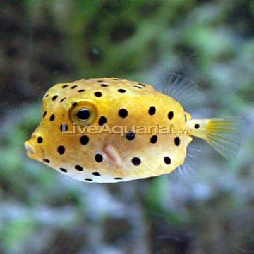 Cubicus Boxfish Care Cubicus Boxfish