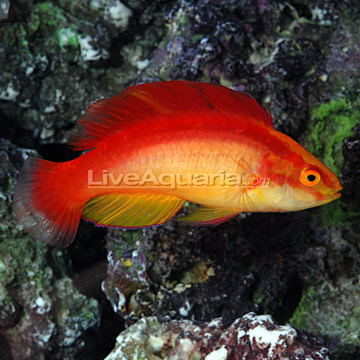 Flame Fairy Wrasse
