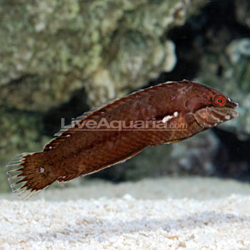 Sea Grass Wrasse