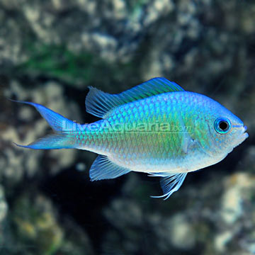 Black Axil Chromis