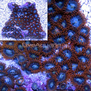 Colony Polyp, Fire & Ice