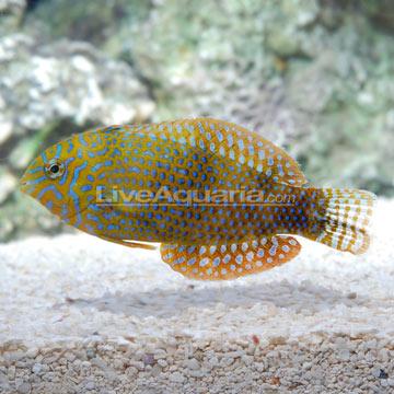 ... > Saltwater & Marine Fish > Wrasse - Reef Safe > Po